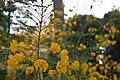 Peltophorum pterocarpum flowers.jpg