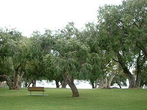 Peppermint Grove, Western Australia - Grove of Peppermint trees overlooking Freshwater Bay on the Swan River