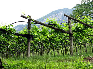 Trento DOC - Grapes Grown in the 'Pergola Trentino' Style