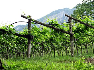 Luglienga - Luglienga is often trained above the ground in pergola systems (example pictured in Trentino).
