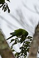 Perico Pecho Sucio, Olive Throated Parakeet, Aratinga nana (11915842783).jpg