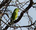 Periquito de encontro amarelo (Brotogeris chiriri).jpg