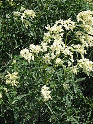 Aconogonon alpinum - Image: Persicaria alpina 001