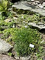 Peucedanum ruthenicum - Botanical Garden, University of Frankfurt - DSC02625.JPG