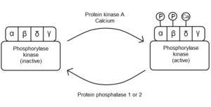 Phosphorylase kinase - Overview of phosphorylase kinase regulation.