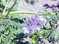 Phacelia tanacetifolia0.jpg