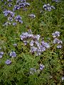 Phacelia tanacetifolia 04.jpg
