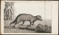 Phalangista ursina - 1700-1880 - Print - Iconographia Zoologica - Special Collections University of Amsterdam - UBA01 IZ20300045.tif