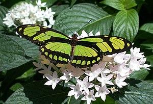 Philaethria dido, Callaway Gardens, Georgia, USA
