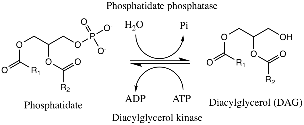 phosphatidate phosphatase wikipedia
