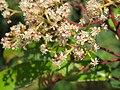 Photinia integrifolia at Mannavan Shola, Anamudi Shola National Park, Kerala (10).jpg