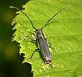 Phytoecia cylindrica, Cerambycidae (49232765077).jpg