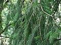 Picea smithiana 002.jpg