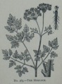 Picture Natural History - No 365 - The Hemlock.png