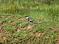Pied Kingfisher at Chilika I IMG 9396.jpg