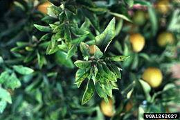 Effetti della clorosi variegata degli agrumi su una pianta di arancio (Citrus sinensis)