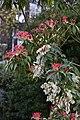 Pieris formosa (Ericaceae) (26796832324).jpg