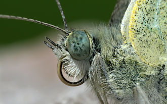 External morphology of Lepidoptera - The head of a small white butterfly (Pieris rapae). Note the upward pointing labial palpi on both sides of the coiled proboscis.