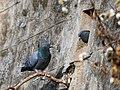 Pigeons Visiting Ooty Mar21 A7C 00685.jpg
