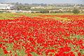PikiWiki Israel 14728 flowers near Ashkelon.JPG