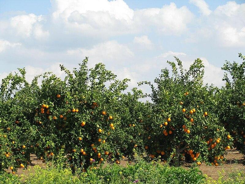 פרדס תפוזים צעיר