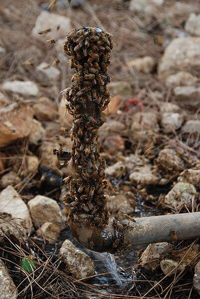 דבורים סביב מקור מים