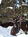 Pine tree in front of Hondo of Daidoji Temple 20150123.jpg