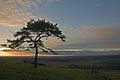 Pine tree on Pentridge Hill at sun-set 2 - geograph.org.uk - 306234.jpg