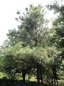 Pinus armandii - Kunming Botanical Garden - DSC02782.JPG