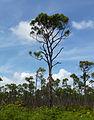 Pinus caribaea var bahamensis Lucayan National Park 1.jpg