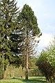 Pinus cembra Wisła.jpg