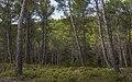 Pinus forest, Saint-Rémy-de-Provence cf01.jpg