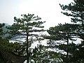 Pinus hwangshanensis Lushan 5.jpg