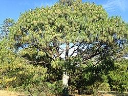 Pinus patula, Esperanza, Puebla, México 1.jpg