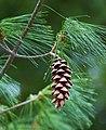 Pinus strobus cone sciondriver.jpg
