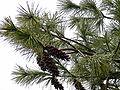 Pinus strobus iced.jpg