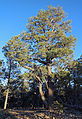Pinyon Pines (Pinus edulis) in South Rim forest, Grand Canyon National Park 7981 - Flickr - Grand Canyon NPS.jpg