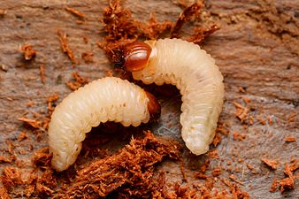 Pissodes cfr pini larvae (31999565632).jpg