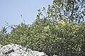 Pistacia lentiscus-2716.jpg