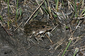 Description de l'image Plains Leopard Frog (Lithobates blairi).jpg.