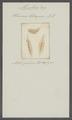 Planaria tetragona - - Print - Iconographia Zoologica - Special Collections University of Amsterdam - UBAINV0274 105 05 0005.tif