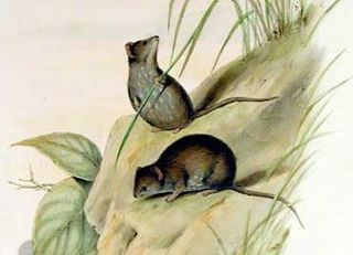 Common planigale species of mammal
