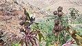 Plant Fuerteventura.jpg