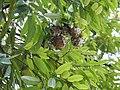 Plant Mesua ferrea fruits DSCN8774 02.jpg