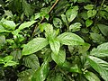 Plant Sarcandra DSCN8616.jpg