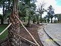Plantación de butiá en la plaza Artigas de Castillos - panoramio.jpg