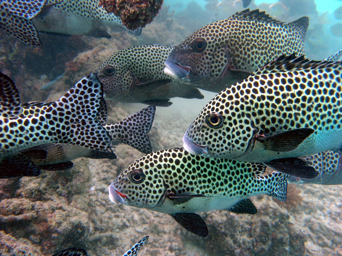 Harlequin sweetlips wikipedia for Sweet lips fish