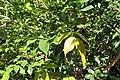 Plinia cauliflora kz02.jpg