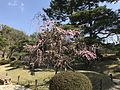 Plum blossoms in Shukkei Garden 2.jpg