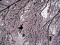 Plum tree in bloom under the snow, Rome.jpg